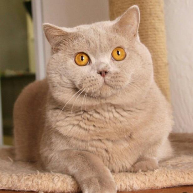 Шотландская кошка лиловый окрас с фото